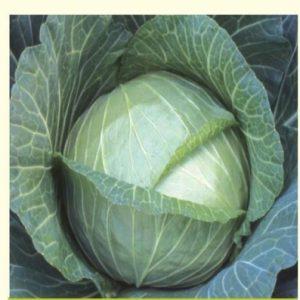 Cabbage baraka f1 seeds image