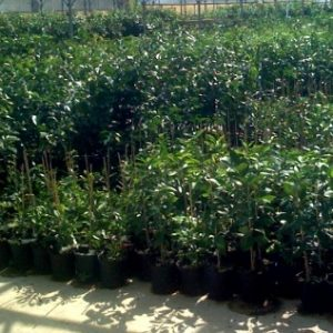 Hamlin citrus seedlings image