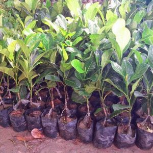 Jackfruit seedlings image