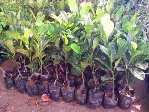 Jackfruit seedlings image