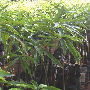 Apple mango seedlings image
