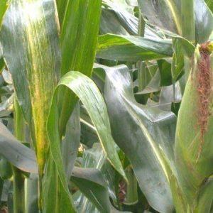 H614D maize seeds image