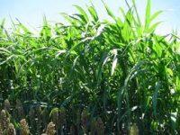 Sugargraze pasture seeds image