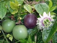 Local passion fruit seedlings image
