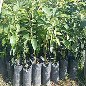 Hass avocado seedlings image