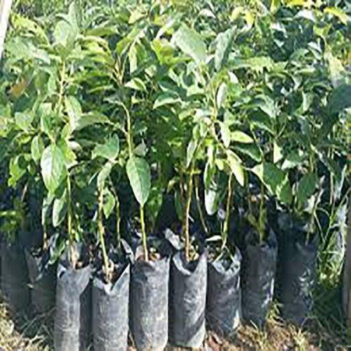 Hass avocado seedlings image