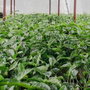 Purple passion fruit seedlings image