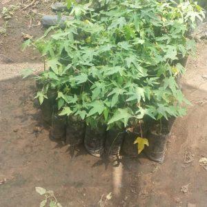 Pawpaw seedlings image